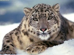 Asnow leopard